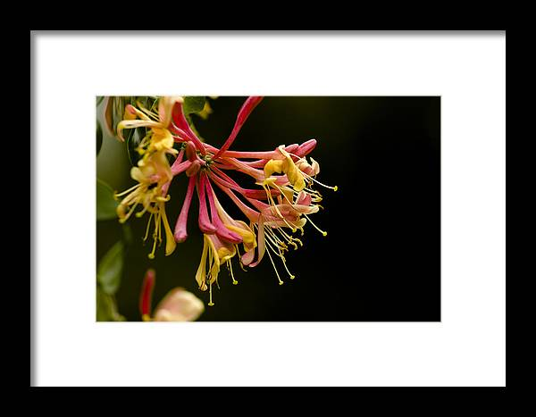Honeysuckle Framed Print featuring the photograph Honeysuckle by Mark Michel