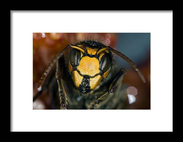 European Hornet Framed Print featuring the photograph Hornet Head by Paul Harcourt Davies