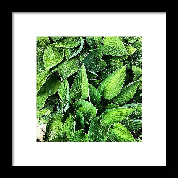 Hosta Framed Print featuring the photograph Hostas in the rain by Nic Squirrell