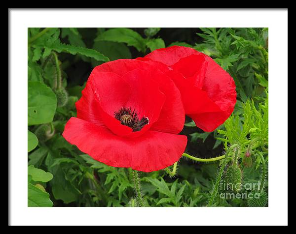 Poppy Framed Print featuring the photograph Hot Poppy by Bruce Borthwick