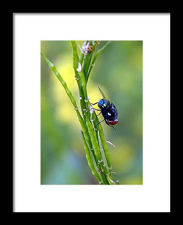 Fly Mustard Flower Green Blue Red Black White Framed Print featuring the photograph House Fly On Mustard Stem by Johnson Moya