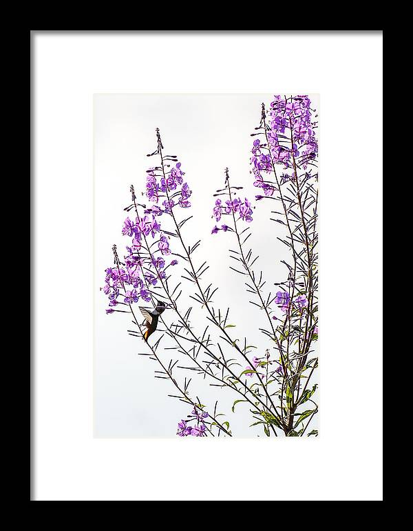 Hummingbird Framed Print featuring the photograph Hummer In The Sun 4 by Andrew Campbell