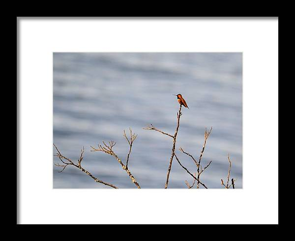 Hummingbird Framed Print featuring the photograph Hummingbird At Rest by Nancy Zavada