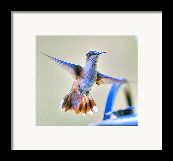 Bird Framed Print featuring the photograph Hummingbird At The Feeder by Shirley Tinkham