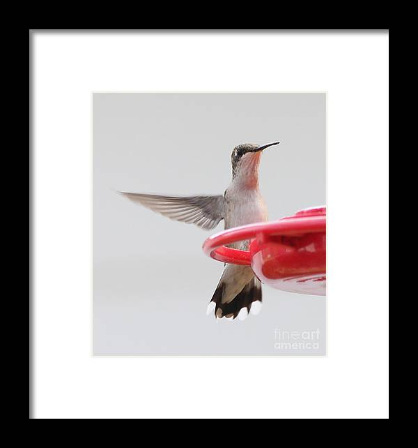 Hummingbirds Framed Print featuring the photograph Hummingbird With Wings Back by Lori Tordsen