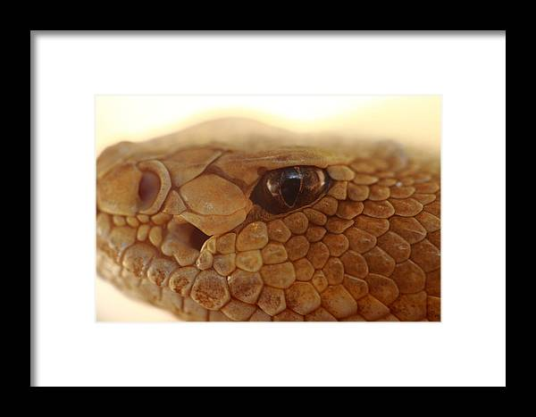 Snake Framed Print featuring the photograph Hungry Eye by Paul Slebodnick