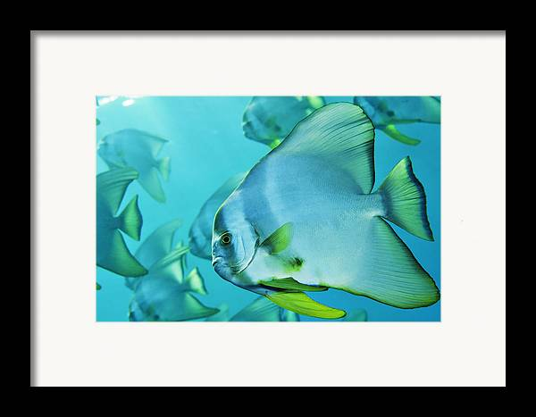 Underwater Framed Print featuring the photograph Hunting For Plankton, A School by Brian J. Skerry