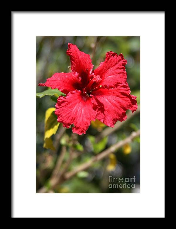 Red Framed Print featuring the photograph Hyacinth by Phoenix Michael Davis