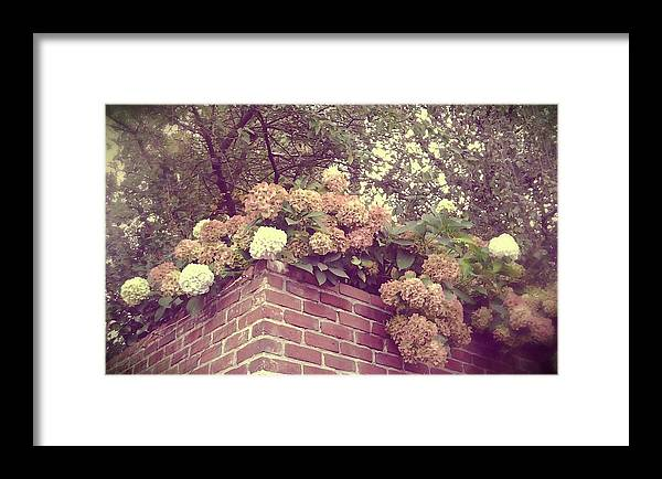 Hydrangeas Framed Print featuring the photograph Hydrangea Haze by Cathie Tyler