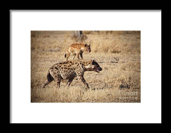 Spotted-hyena Framed Print featuring the photograph Hyena by Gualtiero Boffi