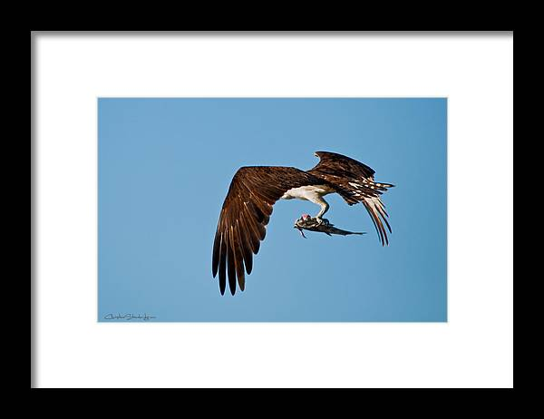 Osprey Framed Print featuring the photograph I Picked Up Take-Out by Christine Stonebridge