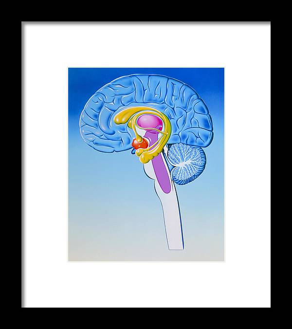 Illustration Of Anatomy Of Limbic System Of Brain Framed Print By