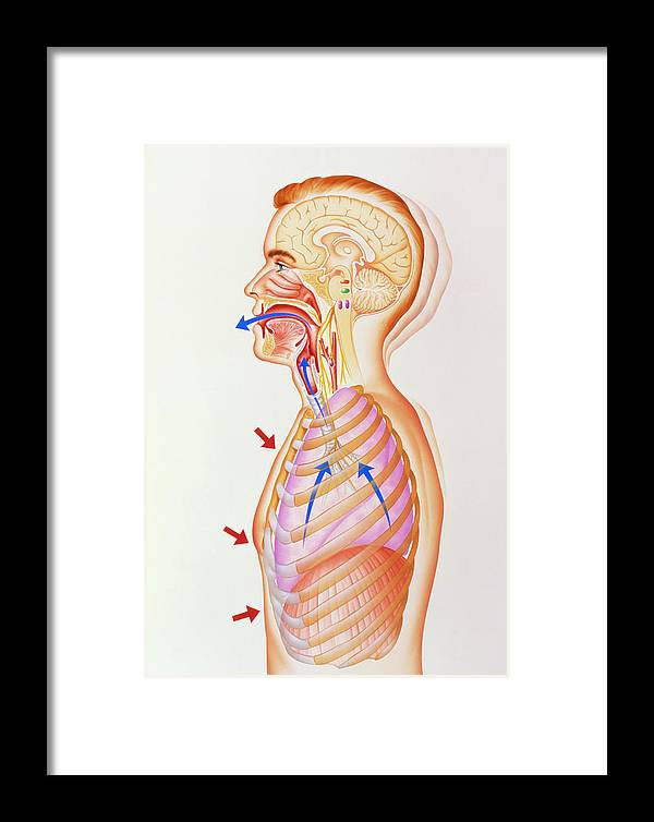 Cough Reflex Framed Print featuring the photograph Illustration Of The Exhalation Phase Of Coughing by John Bavosi