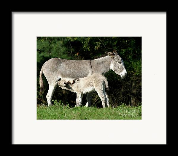 Donkey Framed Print featuring the photograph I'm Thirsty by Deborah Smith