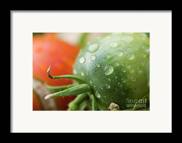 Drop Framed Print featuring the photograph Immature Tomatoes by Sami Sarkis