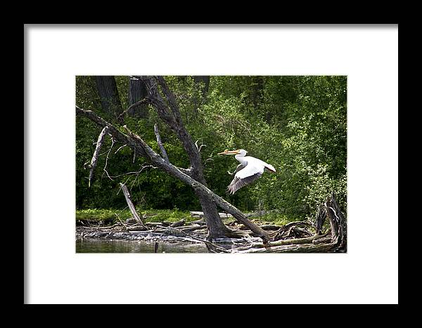 Bird Framed Print featuring the photograph In Flight by Wayne Stabnaw