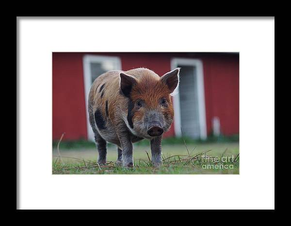 Pig Framed Print featuring the photograph In Front Of The Red Barn by Lynda Dawson-Youngclaus