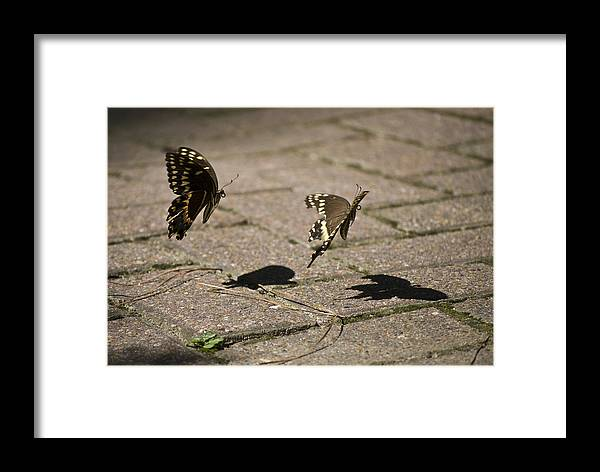 Butterflies Framed Print featuring the photograph In Mid-air by Diego Re