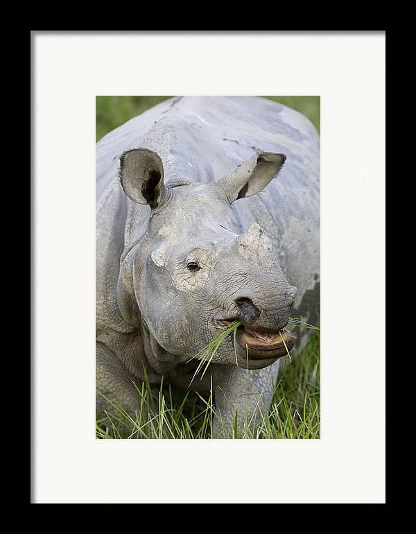 00451346 Framed Print featuring the photograph Indian Rhinoceros Grazing Kaziranga by Suzi Eszterhas