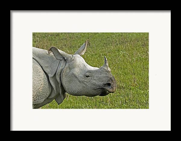 Rhinoceros Unicornis Framed Print featuring the photograph Indian Rhinoceros by Tony Camacho