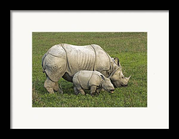 Rhinoceros Unicornis Framed Print featuring the photograph Indian Rhinoceroses by Tony Camacho