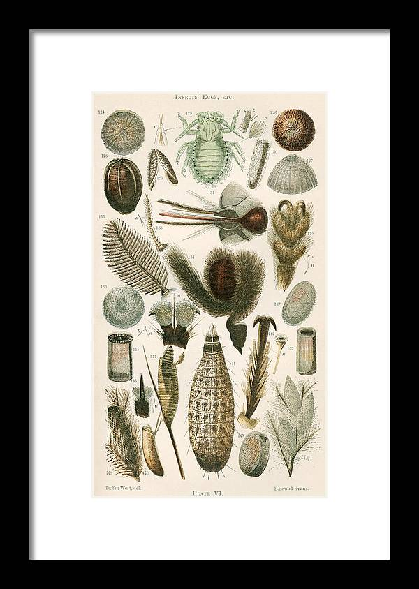 Insect Framed Print featuring the photograph Insect Microscopy, 19th Century by