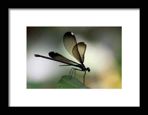 Damsel Fly Framed Print featuring the photograph Insect Photo - The Hunter - Ebony Jewelwing by Travis Truelove