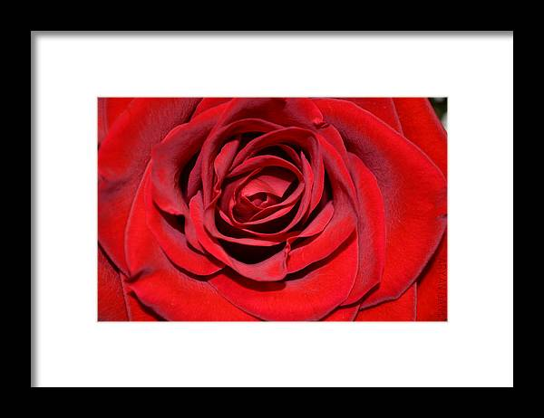 Rose Framed Print featuring the photograph Into the Rose by Aryan Ganji