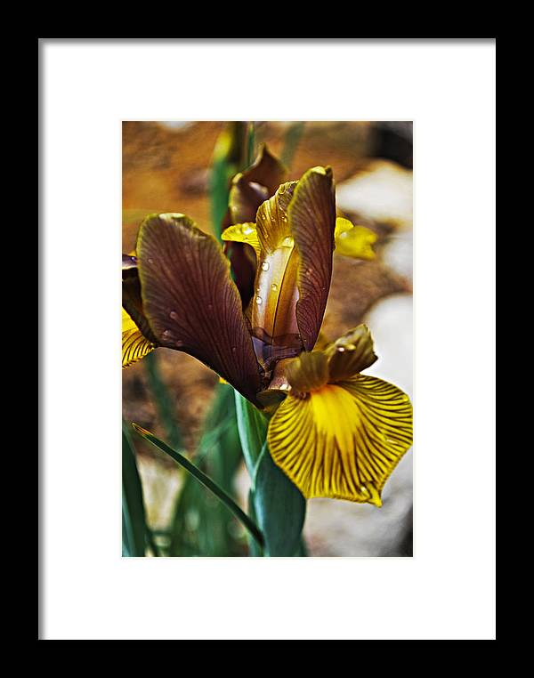 Iris Framed Print featuring the photograph Iris After The Rain by Christopher Gaston