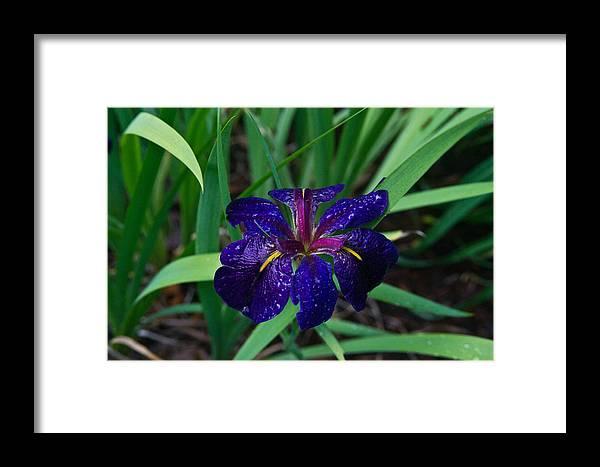 Iris Framed Print featuring the photograph Iris With Rain Drops by Douglas Barnett