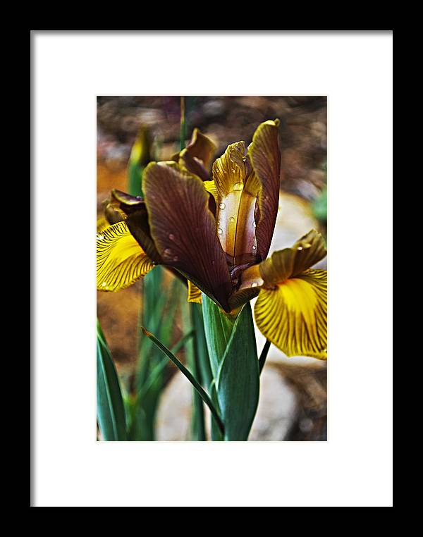 Iris Framed Print featuring the photograph Irises In Spring by Christopher Gaston