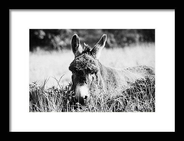 Europe Framed Print featuring the photograph Irish Donkey In A Field by Joe Fox