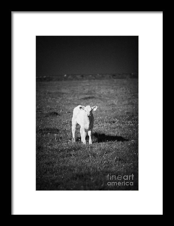 Europe Framed Print featuring the photograph Irish Lone Calf In A Field by Joe Fox