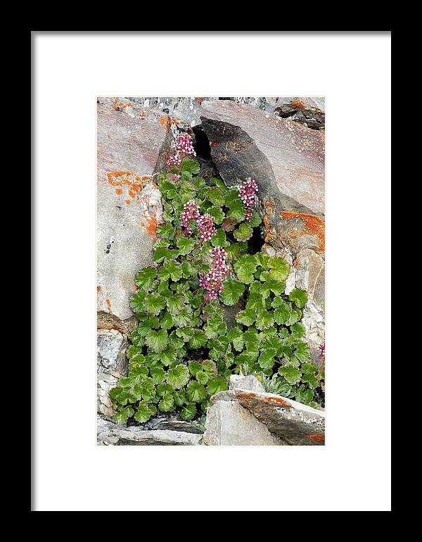 James Saxifrage Framed Print featuring the photograph James' Saxifrage (telesonix Jamesii) by Bob Gibbons