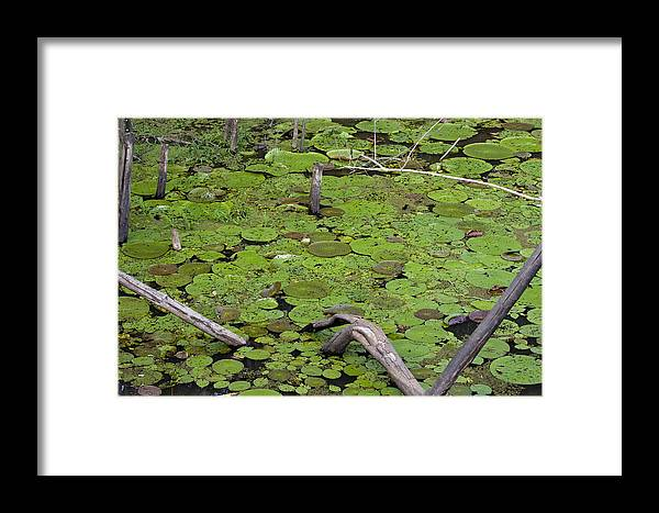 Amazon River Framed Print featuring the photograph January Lake Lily Pad by Robert Selin