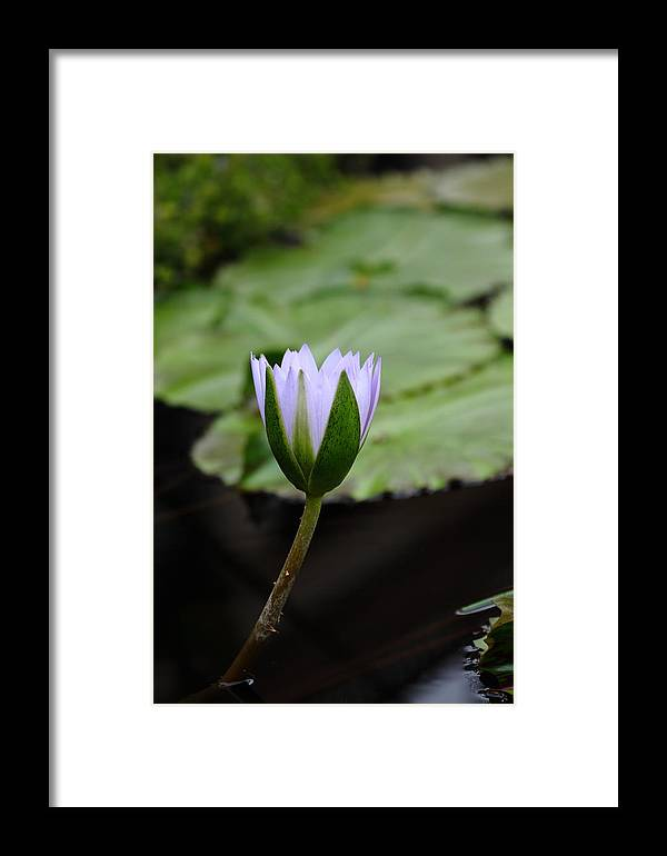 Flower Framed Print featuring the photograph Jo Ann's Lily by Paul Slebodnick