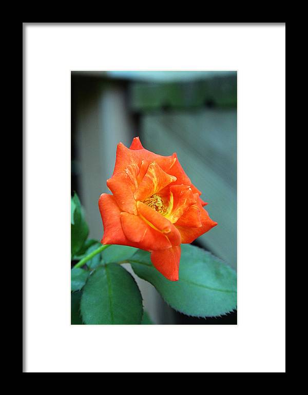 Rose Photograph Framed Print featuring the photograph Just Bloomed by Ester Rogers