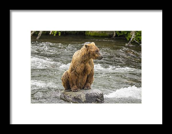 Alaskan Brown Bear Framed Print featuring the photograph Just Hanging Out by Gord Patterson