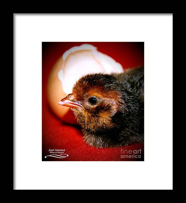 Chicken Framed Print featuring the photograph Just Hatched by Rebecca Morgan