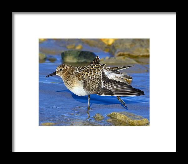 Baird's Sandpiper Framed Print featuring the photograph Juvenile Baird's Sandpiper by Tony Beck