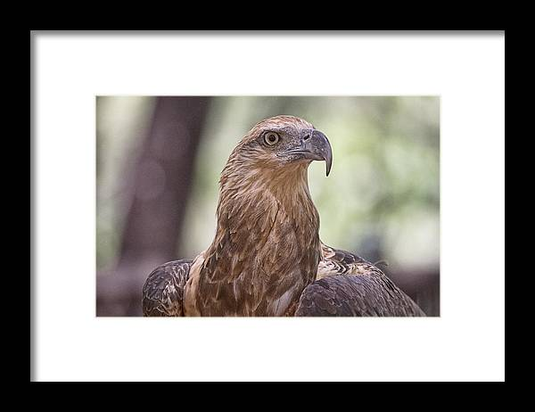 Juvenile Framed Print featuring the photograph Juvenile Sea Eagle by Douglas Barnard