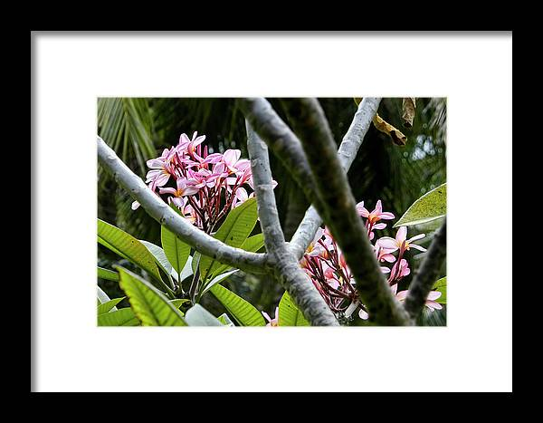 Kalachuchi Flowers Framed Print featuring the photograph Kalachuchi Flowers by Andre Salvador