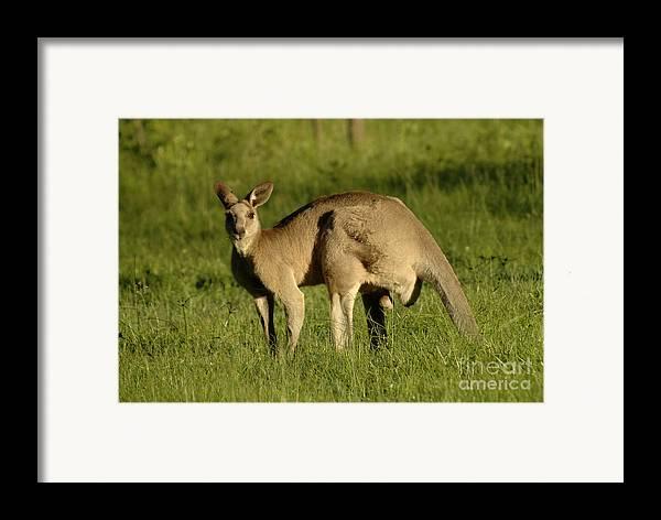 Kangaroo Framed Print featuring the photograph Kangaroo Male by Bob Christopher