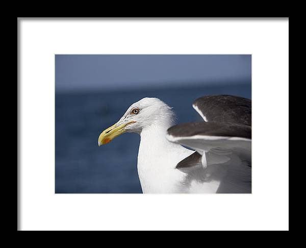 Larus Dominicanus Framed Print featuring the photograph Kelp Gull by Bob Gibbons