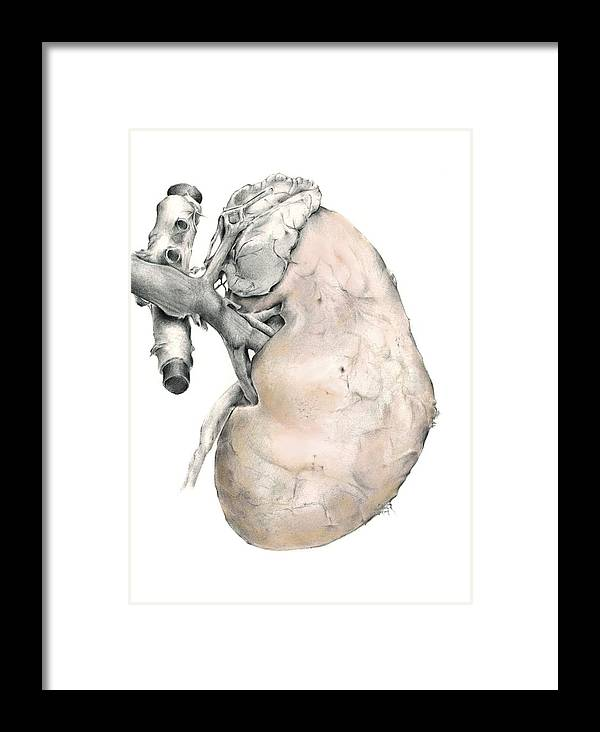 Kidney Framed Print featuring the photograph Kidney Anatomy, Artwork by D & L Graphics