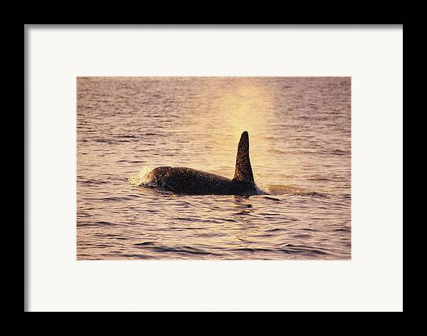 Orcinus Orca Framed Print featuring the photograph Killer Whale by Alexis Rosenfeld