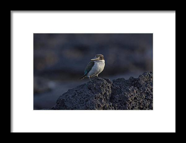 Kingfisher Framed Print featuring the photograph Kingfisher on the Rocks by Douglas Barnard