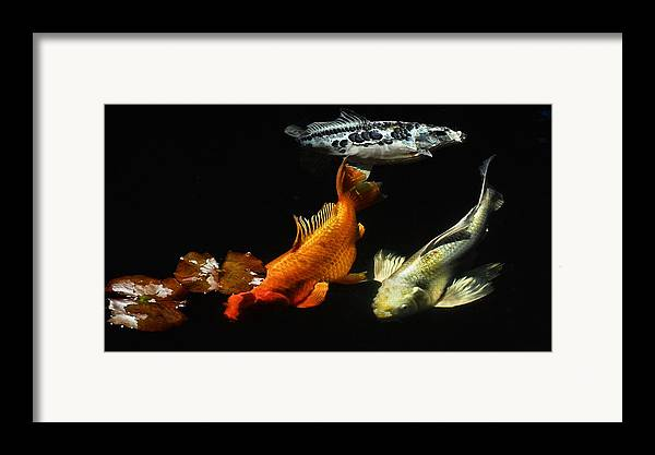 Koi Framed Print featuring the photograph Koi By The Lillies by Don Mann