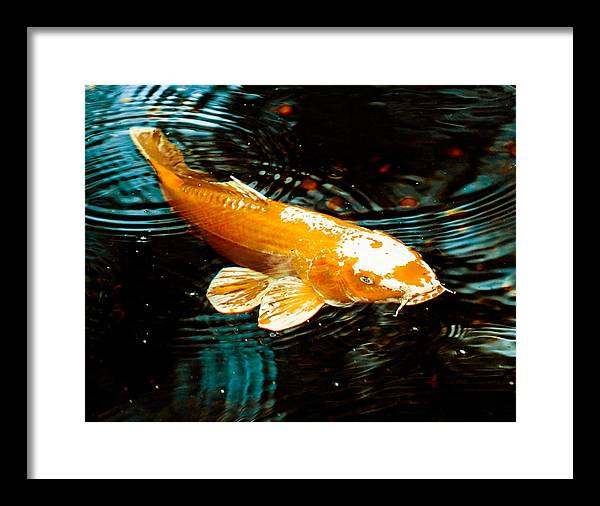Koi Framed Print featuring the photograph Koi In Pond by Maggy Marsh