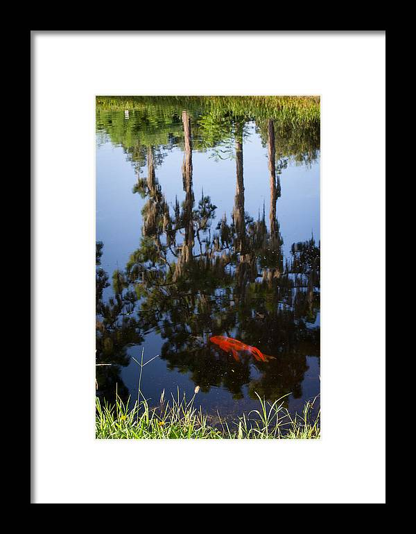 Koi Fish Framed Print featuring the photograph Koi Reflections by Marx Broszio